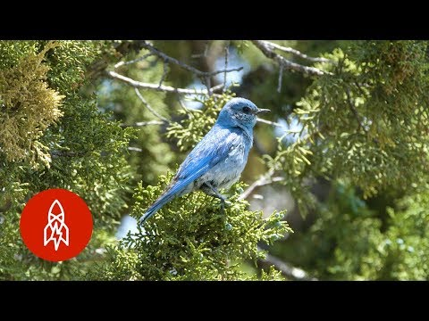 Heart of Gold: 97-Year-Old Saves Idaho Bluebird Population