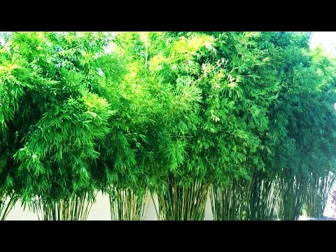 Super beautiful bamboo fence entirely by bamboo trees   Amazing Moments