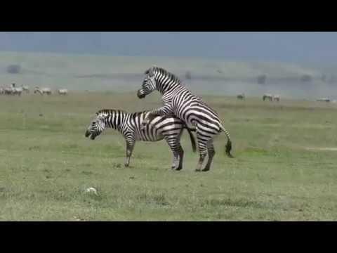 Zebra Mating compilation 2 Animals mating
