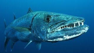 Benvenuto sul canale del pescatore in apnea, il canale su YouTube con una delle più grandi collezioni di video sulla pesca...