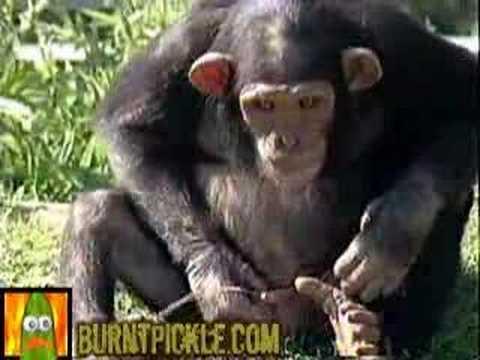 Monkey Drinking Heineken