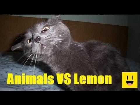 animali alle prese con il limone