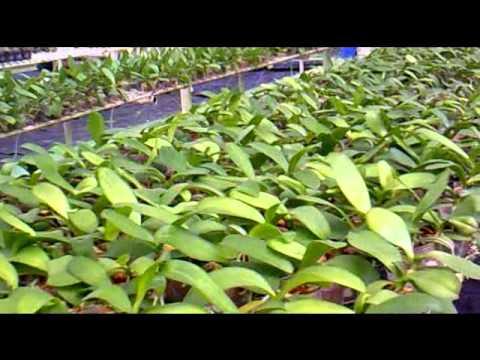 Cultivo de Orquídeas Phalaenopsis