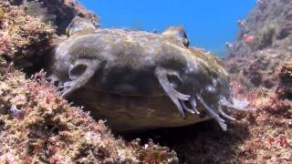 Another day diving at Cook Island, just off Tweeds Heads, NSW. Vis was pretty good this day, with heaps of blue spotted rays and ...