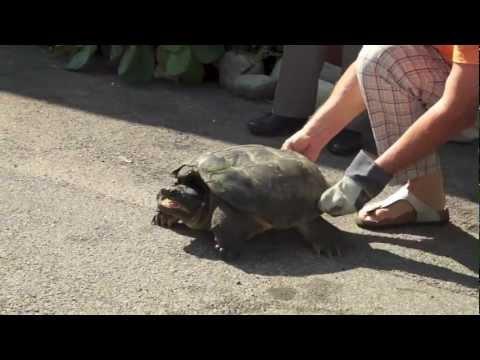 Catturata una pericolosa tartaruga azzannatrice a Lonate Pozzolo