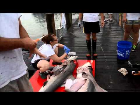 Researchers sample sandbar sharks at the Alabama Deep Sea Fishing Rodeo: July 18, 2014