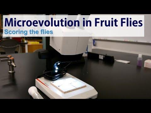 Microevolution in fruit flies - Scoring the flies