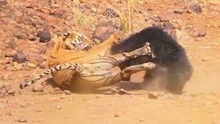 faze tari urs vs tigru