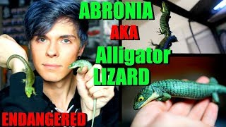 All About The Abronia Graminea! | Mexican Alligator Lizard by Tyler Rugge