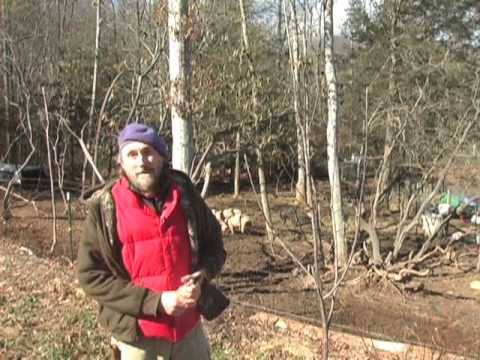How to prune a young apple tree