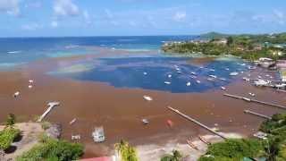 La Martinique subit les algues sargasses
