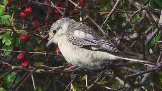 Video Masked Shrike at Kilnsea, Sept., 2014. MP3, 3GP, MP4, WEBM, AVI, FLV Agustus 2018