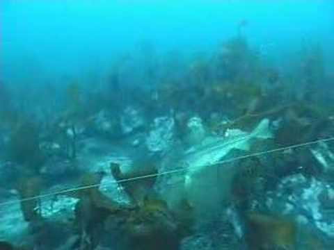 Cod and Longline underwaterfilm