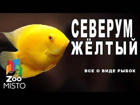 Северум жёлтый - Все о виде рыб