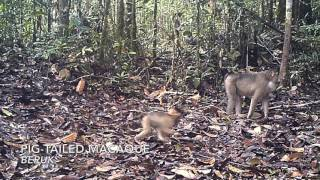Download Video Forest cam - Hutan Tapanuli, North Sumatra MP3 3GP MP4
