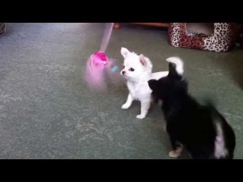 Chihuahua Puppies Playing