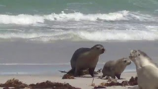 Kangaroo Island Australia  city photos gallery : Sea lion plays with its calf in Kangaroo Island, Australia