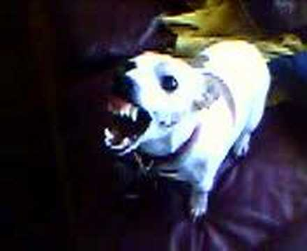 KleWdSide - This is my aunt's Jack Russell, Gilbert. He was a very angry dog! He's MIA.. I wouldn't be surprised if he's the leader of a pack of coyotes.