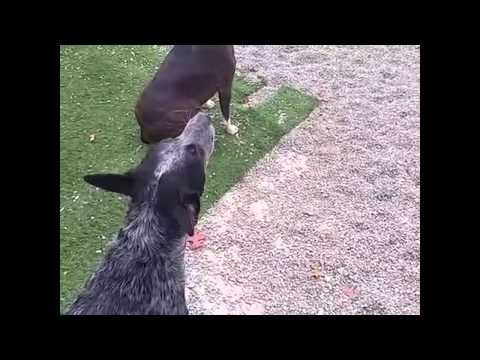 Dog Imitates Fire Truck