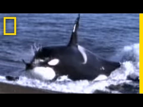 Killer Whale vs. Sea Lions