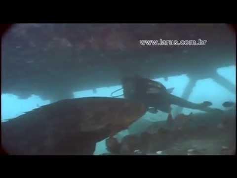 Peixe Gigante - Giant Goliath Bass. 350 Kg - Mero