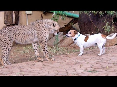 jack russell contro tigre