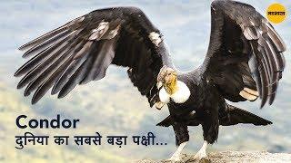 ये जटायु नही Condor है, दुनिया का सबसे बड़ा पक्षी.