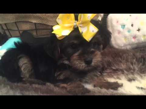 Perfect little pocket pup, Morkie female