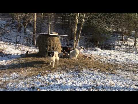 Guardian dogs meet baby goats