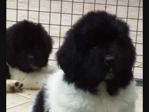 Black and white Newfoundland pups van Tiroca (other music)
