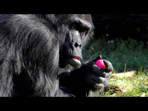 Berlin: Zoobewohner zu Ostern - wenn Gorillas Osterei ...