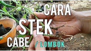 Video Cara stek tanaman cabe cabai atau lombok yang mudah dan praktis MP3, 3GP, MP4, WEBM, AVI, FLV September 2018