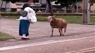 Cabra Loca Suelta - Videos Chistosos de Cabras