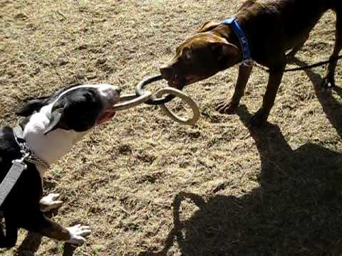 bull terrier vs pitbull