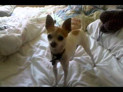 Chihuahua Showing Off