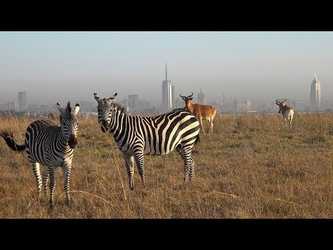 Nairobi National Park, Kenya in 4K Ultra HD