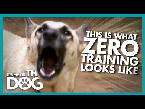Two German Shepherds with ZERO Training Cause Chaos | It's Me or the Dog