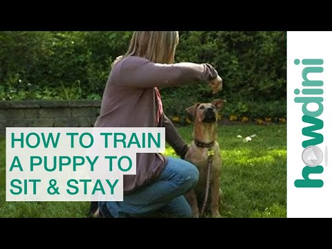 How to Train a Puppy to Sit and Stay