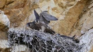 L'aire du faucon pèlerin