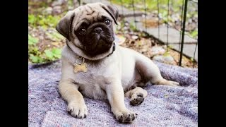 MEET BOBBY THE PUG PUPPY!