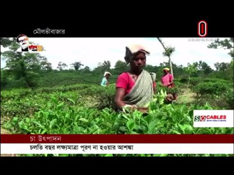 Tea production is not expected to meet the target this year (27-09-2020) Courtesy: Independent TV