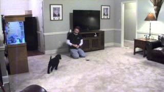 Poodle Puppy Training