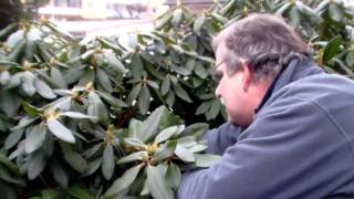 #331 Wie schneide ich Rhododendron