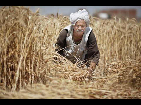 مصر في المقدمة.. معدل إنتاج الدول العربية من القمح