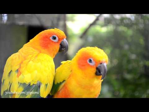 birds - Tropical Birdland, Desford. 1080p HD video shot using Nikon D5100 DSLR. 18-55mm Kit lens. Nikon 70-300mm AF-S VR f/4.5-5.6G IF-ED lens. Colourful birds, Colo...