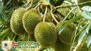 Video Small Durian Tree bears fruit with Bioboost Biological Fertilizer MP3, 3GP, MP4, WEBM, AVI, FLV Oktober 2018