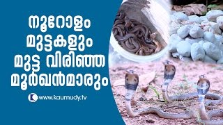 Video Wow ! Cobra hatchlings breaking through about 100 eggs | Snake Master EP 246 | Kaumudy TV MP3, 3GP, MP4, WEBM, AVI, FLV Oktober 2018