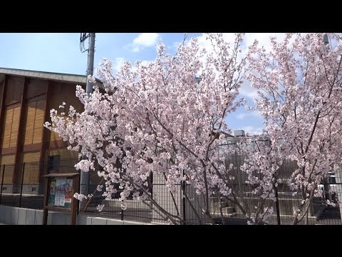 鹿沼市中央小学校前の小さな桜の樹