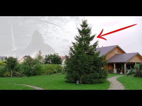 Вот почему нельзя сажать ель возле дома Чтобы снизить отрицательный эффект… - DomaVideo.Ru