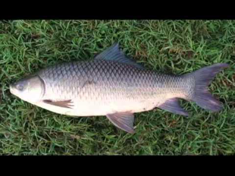 การเลี้ยงปลากินพืชในบ่อดิน